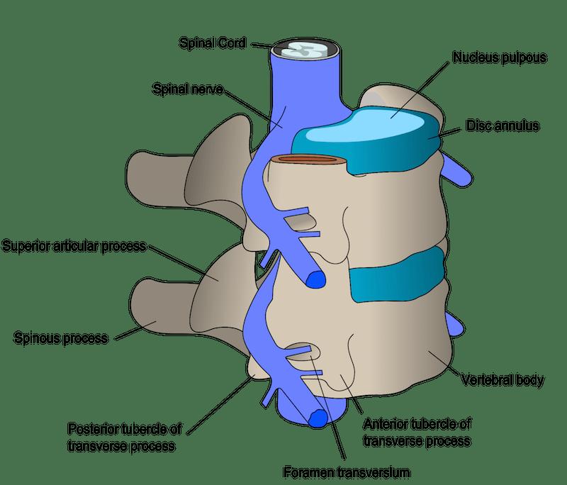 vertebra lumbar